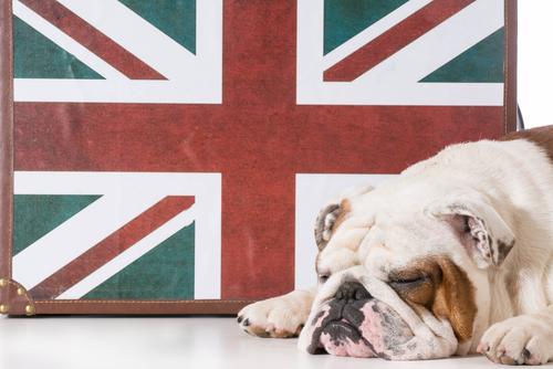 Bulldog inglese: un cane dal buon carattere