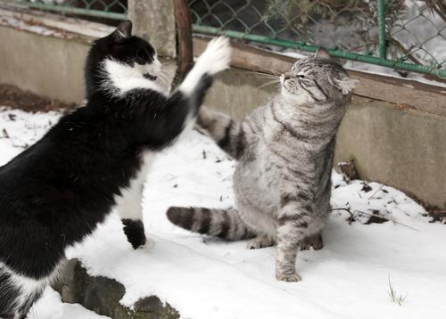 lotta tra gatti2