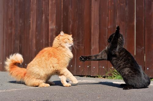I gatti e l'istinto di lotta:  perchè lottano fra loro?