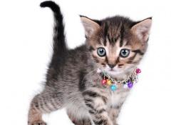 Per che non dovete mettere un campanello a vostro gatto