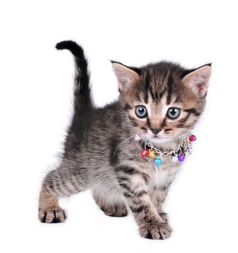 Perché non dovete mettere il campanello al vostro gatto?