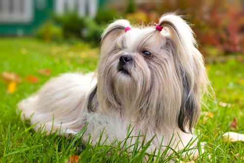 Le 10 razze di cani più longeve
