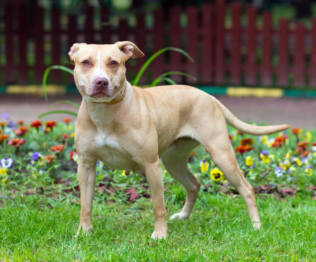 american-pitbbull-terrier-1024x848
