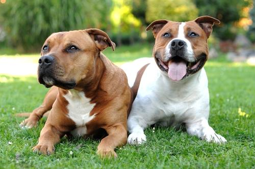 American Pitbull Terrier, un cane atletico