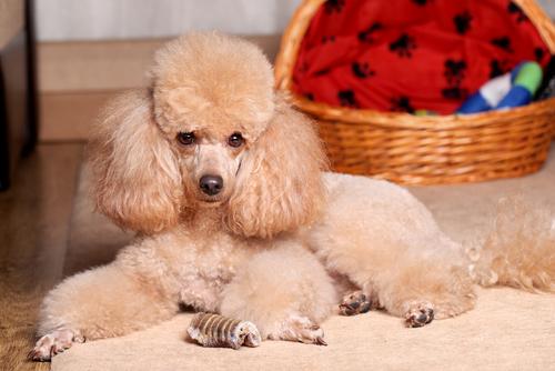 Il cane barbone o poodle, un compagno leale e affettuoso