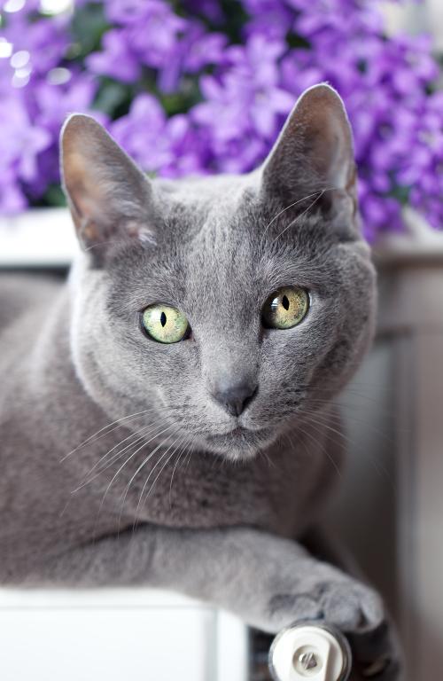 Il Blu di Russia: nobiltà felina
