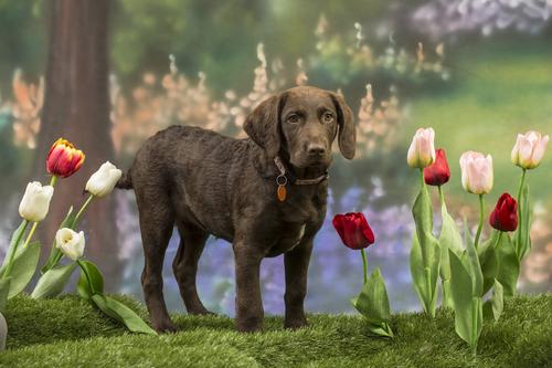 cane-tulipani