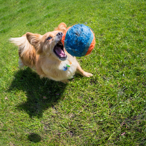 cane-giocando-3