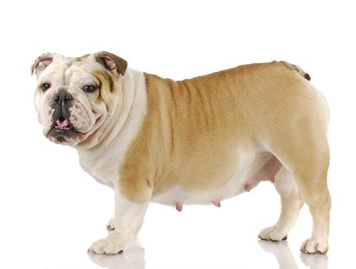 La gravidanza nei cani. Come aiutarli in questa tappa?