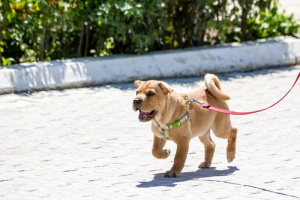 cane legato 2