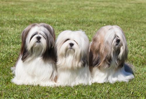 Razze di cani provenienti dalla Cina