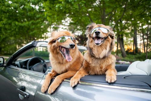 cani-in macchina