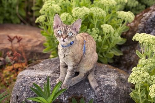 Un gatto attivo, giocherellone e docile: il Devon Rex