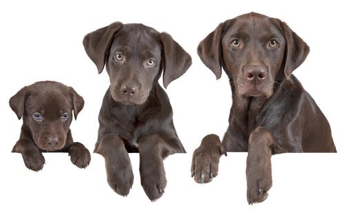 Come calcolare l'età dei cani in anni umani