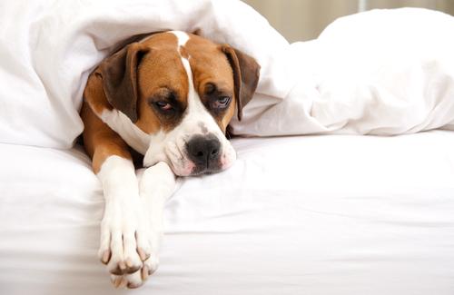 Cosa significa la febbre nei cani?