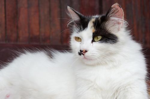 Come si comporta una gatta incinta?