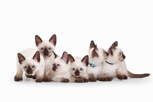 Il gatto siamese, bellezza dagli occhi azzurri