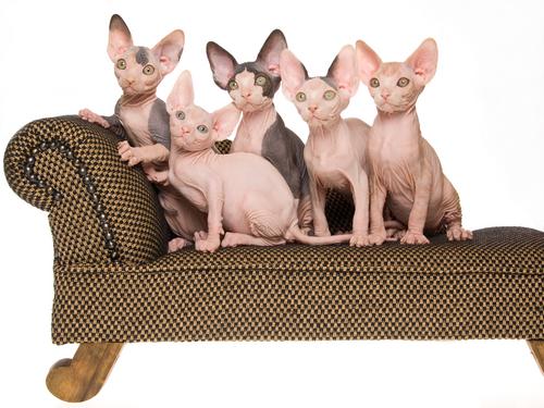I dieci gatti più strani al mondo