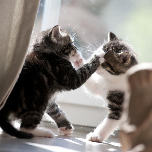 Sapete perché i gatti litigano?
