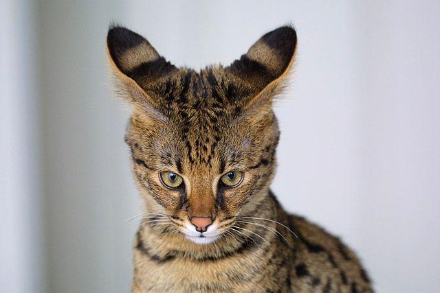 Tutto sullo spettacolare gatto Ashera