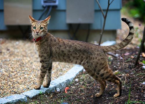 gatto-ashera-3