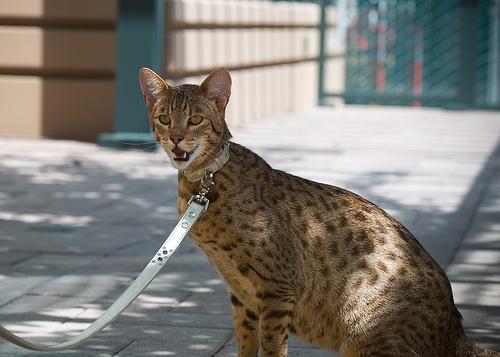 gatto-ashera