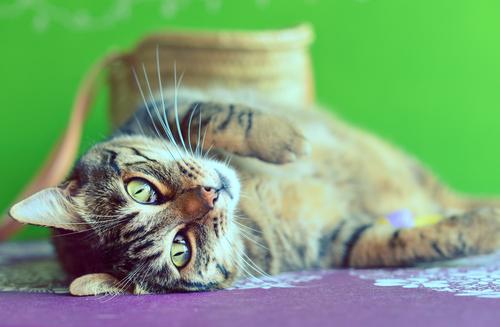 gatto-pancia-insu