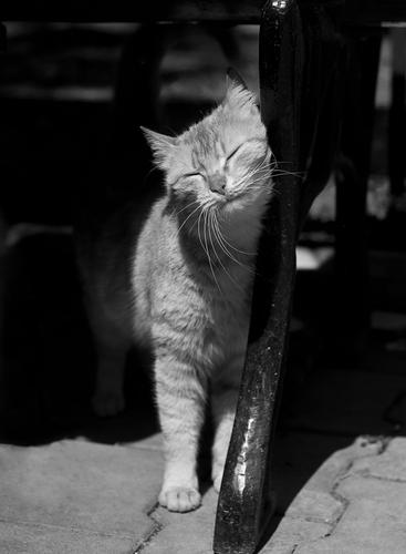 gatto-strofina-testa