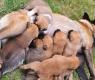 gravidanza-cagne-2