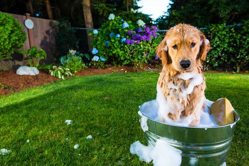 Come fare il bagno a un cane a pelo corto?