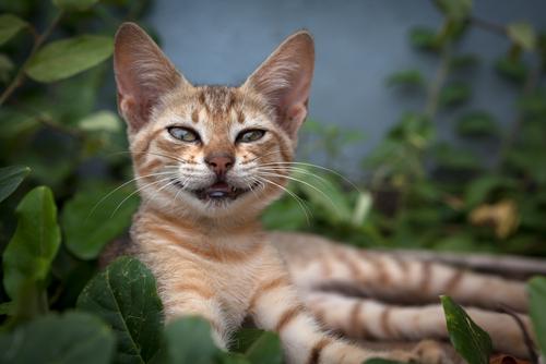 linguaggio-dei-gatti-3