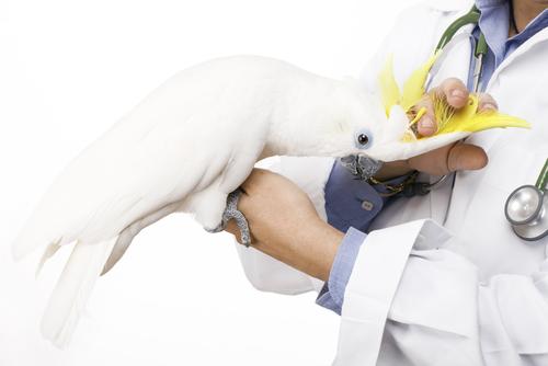 intervento chirurgico per pappagallo