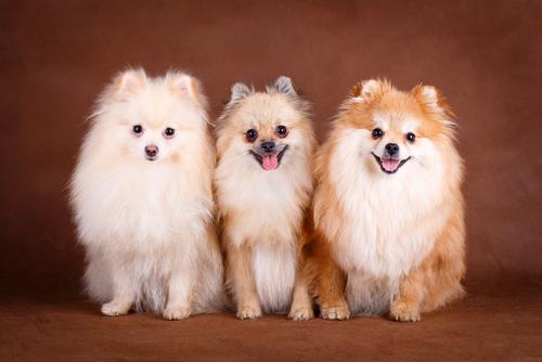 Il Pomerania, un cane intelligente e affettuoso