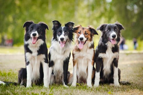 Le razze di cani più intelligenti