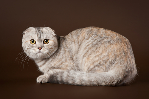 scottish-fold-3