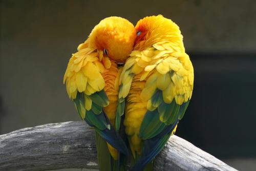 sesso-pappagalli-2