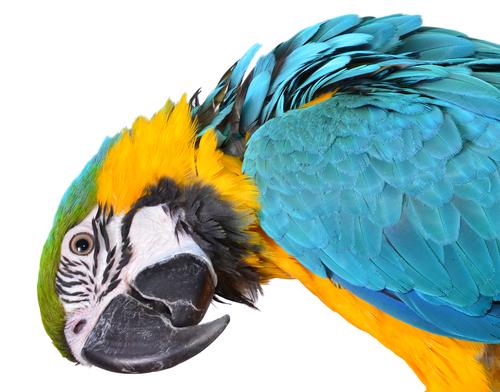 sesso-pappagalli-3