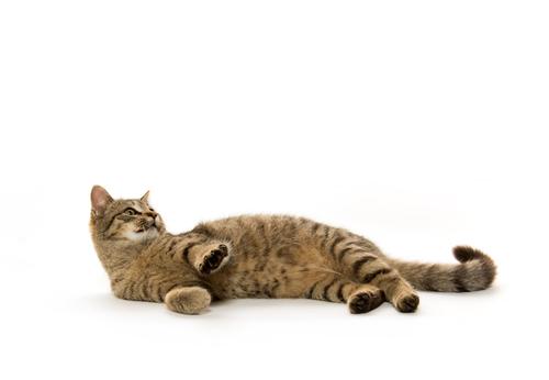 gatto-sdraiato