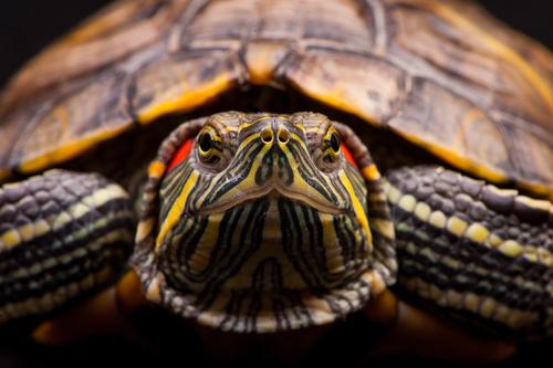 La tartaruga dalle orecchie rosse, un animale delicato