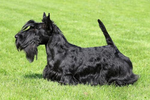 terrier scozzese