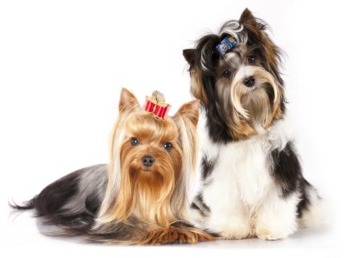 Terrier: scoprite tutto su questi cani
