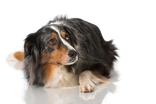 Perché i cani tremano?