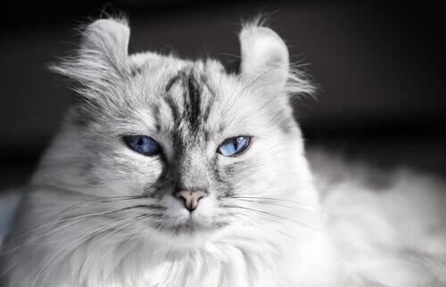 Le razze di gatto più originali
