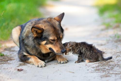 Cane adotta e protegge un gattino abbandonato