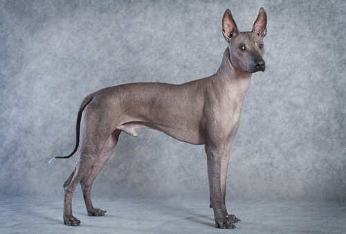 Le 5 razze di cani nudi