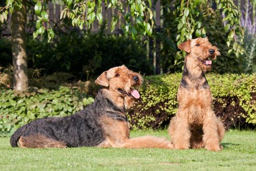 Cani di razza: l'Airedale Terrier