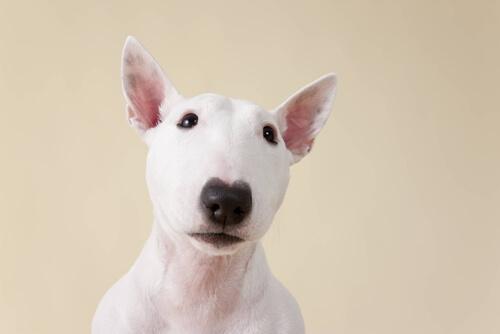 bull-terrier-albino