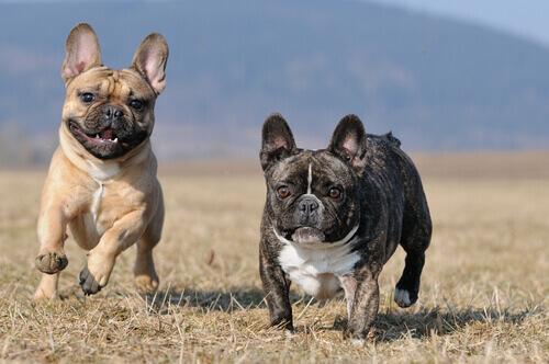 Tutto sul Bulldog francese