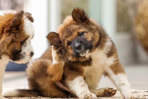 La babesiosi canina: meglio prevenire che curare