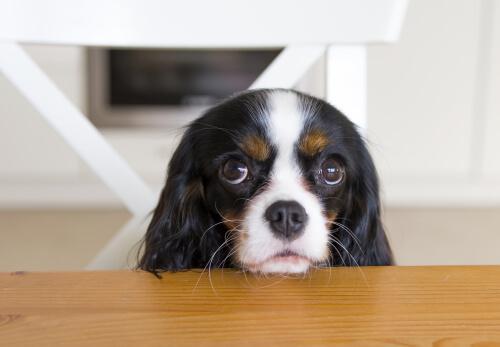 cane col muso sul tavolo